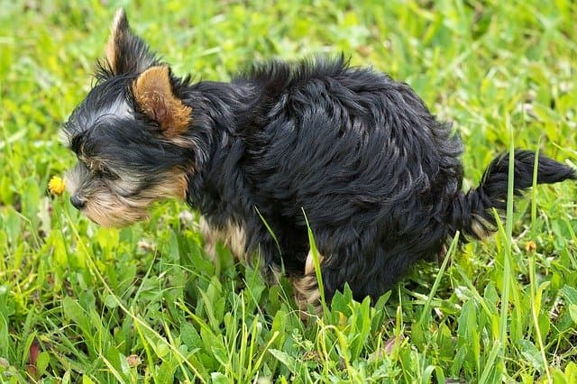 are yorkies easy to potty train