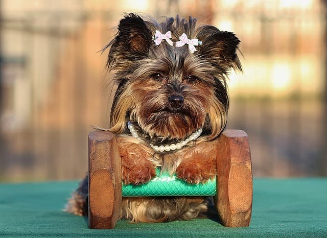 how much exercise does a yorkie need