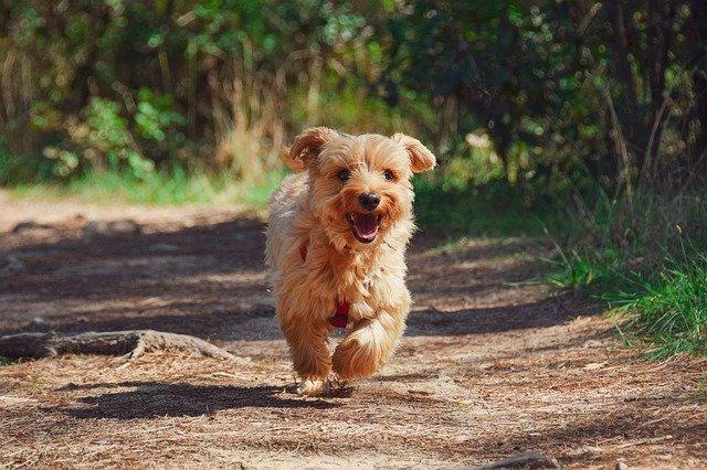 Yorkie puppy running