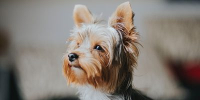 best food for Yorkies with sensitive stomachs