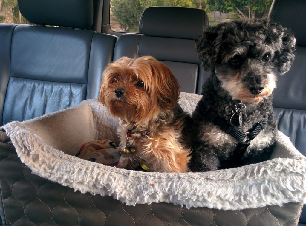 best dog companion for a Yorkie