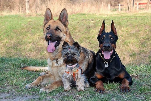 Yorkie and German Shepherd