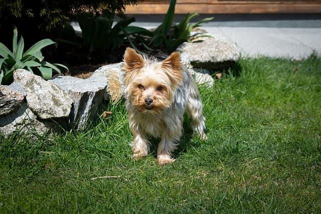 Yorkshire Terrier on grass