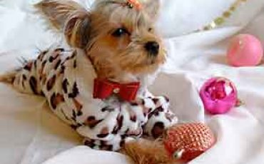 yorkie clothes